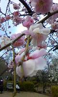 梅の花130301_1207%7E03.jpg