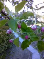 りんごのつぼみ.jpg
