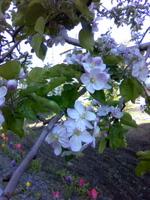 りんごの花(1)TS3M0106.jpg